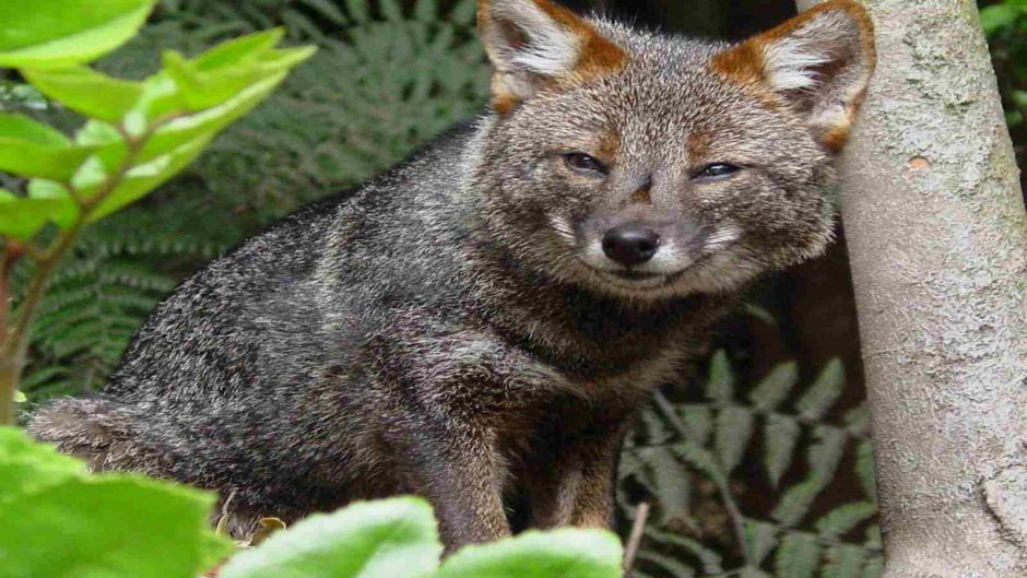 the chiloe fox or fox darwin darwins fox formerly called