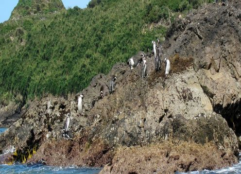 Puñihuil Penguins