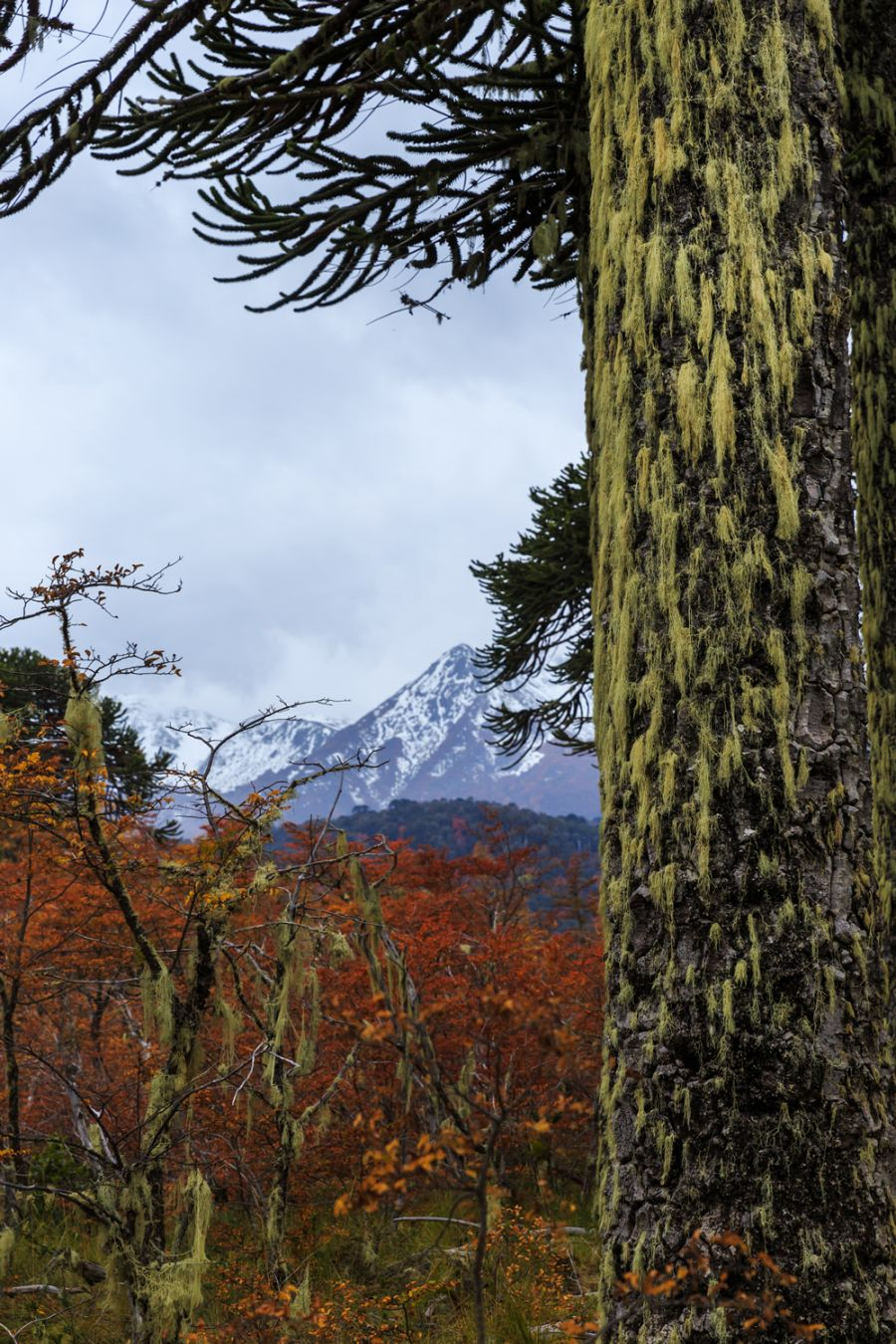 Conguill�o National Park Lonquimay, CHILE
