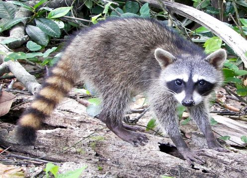 South American raccoon