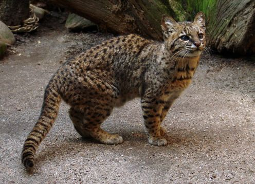 South American Wildcat