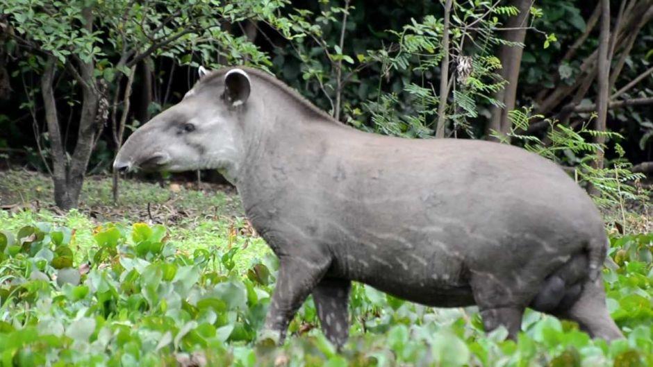 Tapir, Guia de Fauna  RutaChile