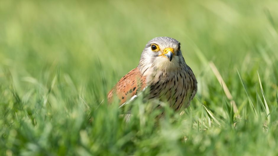 Kestrel, bird guide.   -