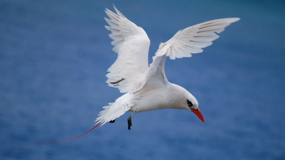 Red-tailed Tropicbird.   - TAILANDIA