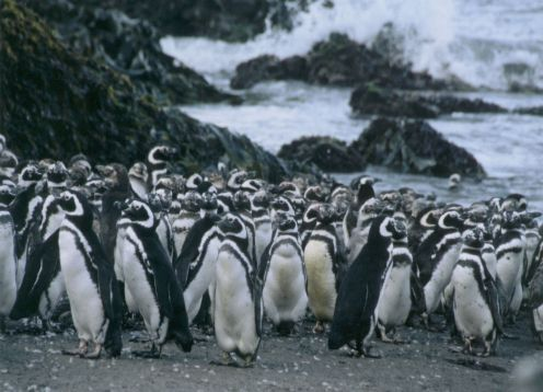 CHILOE ISLAND; ANCUD AND PINGUINS OF PU�IHUIL