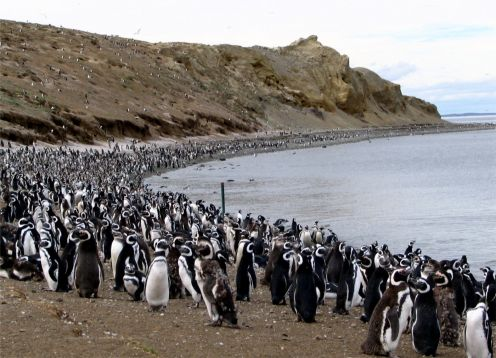 MAGDALENA ISLAND PENGUIN COLONY. , CHILE