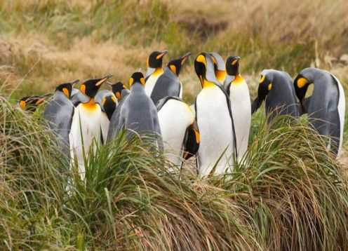 Tierra del Fuego and King Penguin Park. , CHILE