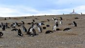 MAGDALENA ISLAND PENGUIN COLONY - Punta Arenas, Chile